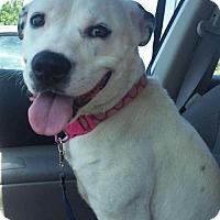 Adopt A Pet :: LunaGirl - St Louis, MO