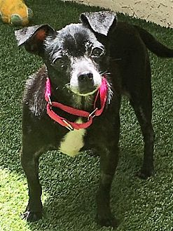 Chihuahua Mix Dog for adoption in Ft. Lauderdale, Florida - Daniella