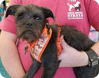 Miniature Schnauzer/Border Terrier Mix Puppy for adoption in Phoenix, Arizona - EZEKIEL