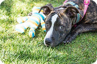 Pit Bull Terrier Mix Dog for adoption in Redondo Beach, California - Petunia-ADOPT Me!