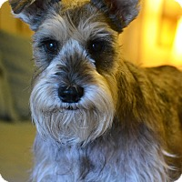 Schnauzer (Standard) Mix Dog for adoption in Hagerstown, Maryland - Lucy