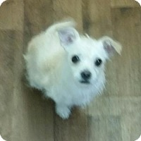 Terrier (Unknown Type, Medium)/Chihuahua Mix Puppy for adoption in Dana Point, California - Lily