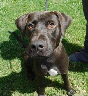Labrador Retriever Mix Dog for adoption in Anderson, South Carolina - Beatle