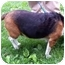 Photo 3 - Beagle Dog for adoption in Campbellsville, Kentucky - Gabby