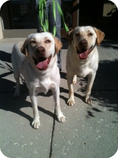 Labrador Retriever Dog for adoption in Knoxvillle, Tennessee - Kimber and Kane