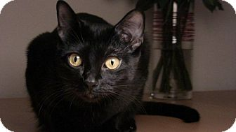 Bombay Cat for adoption in Long Beach, New York - Tiny