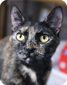 Calico Cat for adoption in Medford, Massachusetts - Sophia