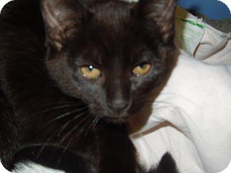 Domestic Shorthair Cat for adoption in Medina, Ohio - Coale