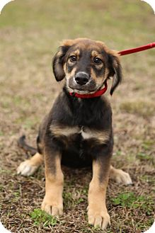 Shepherd (Unknown Type) Mix Puppy for adoption in Wethersfield, Connecticut - Simon
