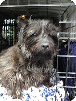 Cairn Terrier Dog for adoption in Oak Ridge, New Jersey - Popeye
