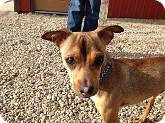 Chihuahua/Miniature Pinscher Mix Dog for adoption in Craig, Colorado - Thomas (Tommy)