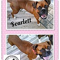 Adopt A Pet :: Scarlett - St. Robert, MO