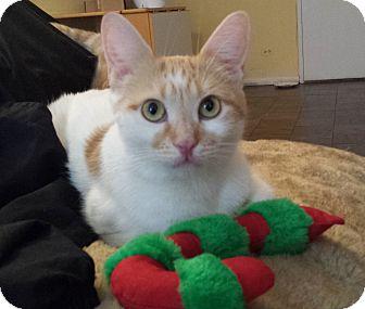 Domestic Shorthair Cat for adoption in Amherst, Massachusetts - Honey