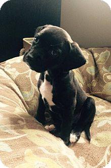 Labrador Retriever Mix Puppy for adoption in Seattle, Washington - Lucy