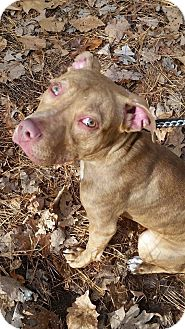 Pit Bull Terrier Mix Dog for adoption in Jackson, New Jersey - Tomorrow