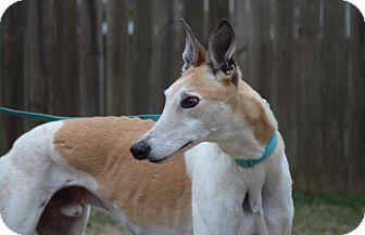 "Greyhound Dog for adoption in Smyrna, Tennessee - SK Runaway ""Jackson"""