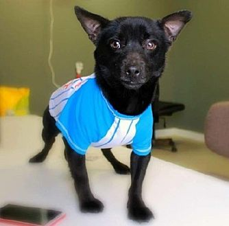 Chihuahua Mix Dog for adoption in Slidell, Louisiana - Milo