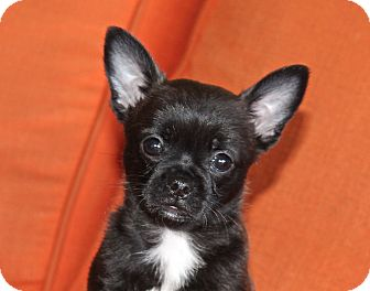 French Bulldog/Chihuahua Mix Puppy for adoption in Los Angeles, California - Georgette