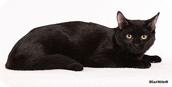 Domestic Shorthair Kitten for adoption in Las Vegas, Nevada - Mindy