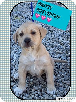 Shar Pei/Labrador Retriever Mix Puppy for adoption in Harrisonburg, Virginia - Britty Buttercup (Pom)