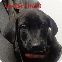 Adopt A Pet :: Orville - Greencastle, NC