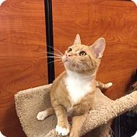 Adopt A Pet :: Tangerine - Cranford/Rartian, NJ