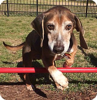 Beagle/Hound (Unknown Type) Mix Dog for adoption in Media, Pennsylvania - Beau