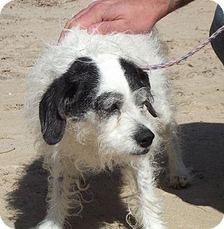 Terrier (Unknown Type, Medium) Mix Dog for adoption in Cheboygan, Michigan - Shadow