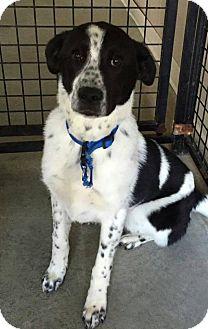 Anatolian Shepherd Mix Dog for adoption in Urbana, Ohio - Ted