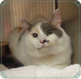 Domestic Shorthair Cat for adoption in Marietta, Georgia - BELLA