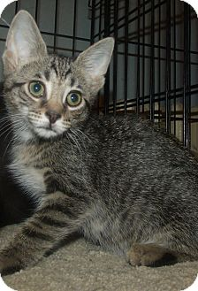 Domestic Shorthair Kitten for adoption in Acme, Pennsylvania - ARLENE