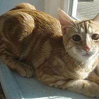 Domestic Shorthair Cat for adoption in Germansville, Pennsylvania - Naomi