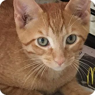 Domestic Shorthair Cat for adoption in Irwin, Pennsylvania - Butter