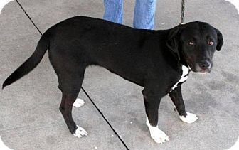 Labrador Retriever/Border Collie Mix Dog for adoption in London, Ontario - Winnie