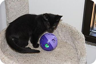Domestic Shorthair Kitten for adoption in Greensboro, North Carolina - Smokie