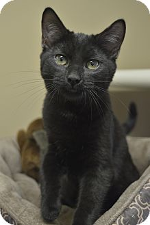 Domestic Shorthair Kitten for adoption in Germantown, Tennessee - Ember