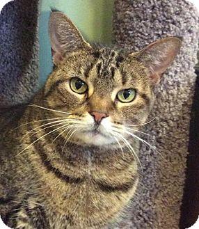 Domestic Shorthair Cat for adoption in Breinigsville, Pennsylvania - Daisy