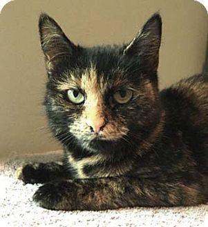 Calico Cat for adoption in Merrifield, Virginia - Brenda