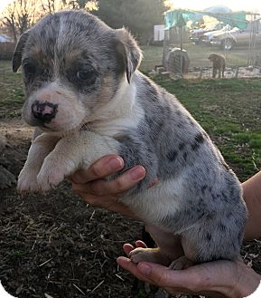 Catahoula Leopard Dog Mix Puppy for adoption in Loogootee, Indiana - Rayna