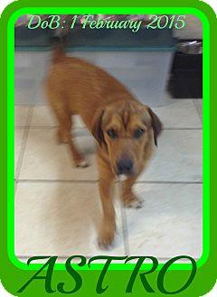 Basset Hound/Labrador Retriever Mix Dog for adoption in Jersey City, New Jersey - ASTRO - $250
