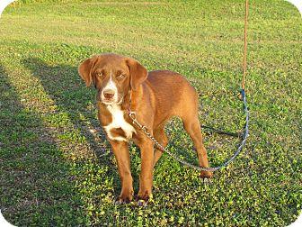 Labrador Retriever/Golden Retriever Mix Puppy for adoption in Newburgh, New York - TEAGAN
