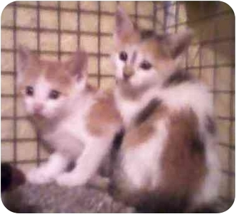 Calico Kitten for adoption in Randolph, New Jersey - Rebecca and Riley
