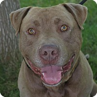 Adopt A Pet :: MOOSE-Low Fees/altered - Red Bluff, CA