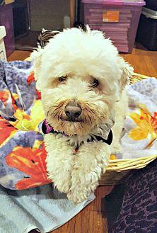 Poodle (Miniature) Dog for adoption in Redondo Beach, California - Murphy needs a single woman!
