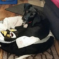 Labrador Retriever Mix Dog for adoption in Tomah, Wisconsin - Fauna