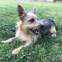 Cairn Terrier/Terrier (Unknown Type, Small) Mix Dog for adoption in Weatherford, Texas - *Tucker*