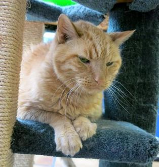 Domestic Shorthair/Domestic Shorthair Mix Cat for adoption in Northbrook, Illinois - Buhdy