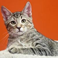 Adopt A Pet :: Juno - Vinton, IA