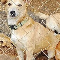 Adopt A Pet :: Zena - San antonio, TX
