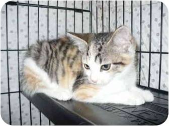 Calico Kitten for adoption in Colmar, Pennsylvania - Dijon